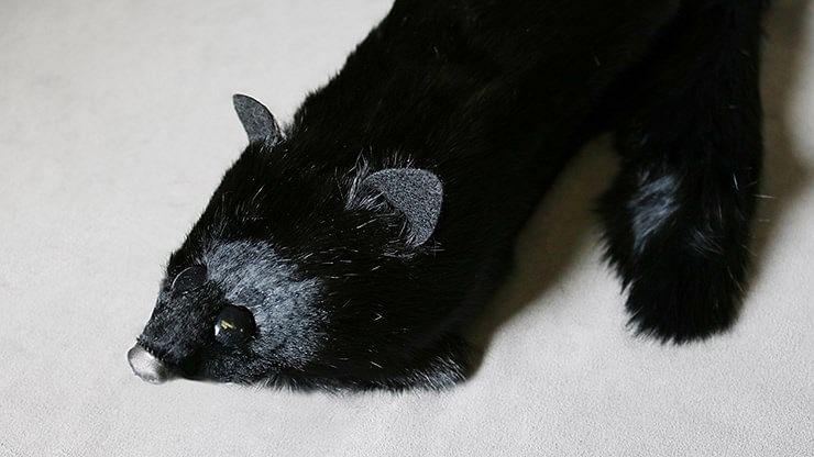 Black Fox Spring Animal