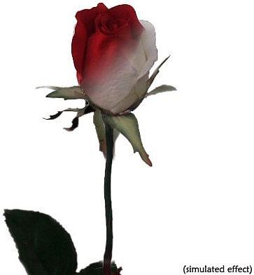 "Ulti-Rose ""Single Color Changing Rose"" - magic"